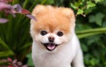 """Boo - """"Chú chó đáng yêu nhất thế giới"""" với hơn 16 triệu người theo dõi đã qua đời"""