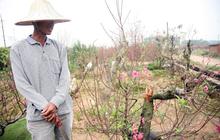 """Vụ 150 gốc đào bị phá, chủ một vườn đào tự tử: """"Chúng tôi không ai phán xét gì, chỉ mong ông B. yên nghỉ"""""""