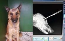Chó becgie thoát chết thần kỳ sau khi lĩnh trọn con dao của kẻ cướp để bảo vệ chủ