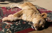 """Cắt hết móng sư tử để """"trẻ em có thể chơi cùng"""", ban quản lý sở thú bị chỉ trích dữ dội"""