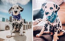 Chú chó đốm trở thành ngôi sao Instagram nhờ chiếc mũi hình trái tim độc nhất vô nhị