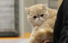 Nữ tặc giả bụng bầu, vận chuyển trót lọt 2 con mèo Ba Tư trị giá hơn 150 triệu đồng từ Đài Loan về Hồng Kông