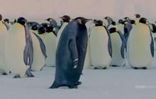 Đây có thể là con chim cánh cụt hiếm nhất thế giới: cả hành tinh có đúng 1 con