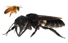 """Tưởng đã tuyệt chủng 40 năm, loài ong khổng lồ """"chó bull bay"""" bất ngờ được tìm thấy tại Indonesia"""