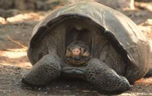 """Rùa khổng lồ tưởng tuyệt chủng 100 năm trước nay """"tái xuất giang hồ"""" trong sự ngỡ ngàng của khoa học"""