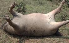 Đàn trâu 6 con bị sét đánh chết nằm chổng vó lên trời ở Lào Cai