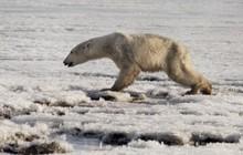 Gấu trắng Bắc Cực đi lạc 700km kiếm thức ăn - hình ảnh thương tâm của tình trạng biến đổi khí hậu