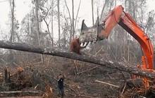 Đau lòng cảnh đười ươi liều mạng ngăn máy ủi phá rừng