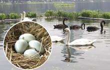 Trầm trồ thích thú xem đàn thiên nga đẻ trứng ở hồ Thiền Quang