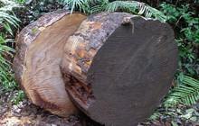 Lâm Đồng: Khởi tố vụ án cưa trộm cây thông hàng trăm năm tuổi quý hiếm