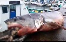 Cá mập trắng khổng lồ chết nghẹn khi ăn thịt rùa biển - hình ảnh chứng minh tự nhiên có thể tàn khốc đến mức nào