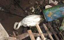 Hải Phòng: Thiên nga trắng dưới sông Tam Bạc vùng vẫy rồi gục giữa bãi rác khiến nhiều người xót xa và phẫn nộ