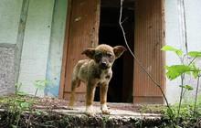 """Câu chuyện về những chú chó bị bỏ rơi ở Chernobyl: Cô độc giữa mảnh đất chết, vươn lên thành """"băng đảng chó hoang"""" lớn mạnh nhất vùng"""