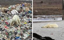 Gấu Bắc Cực đi lạc hơn 1.500 km đến Nga trong tình trạng kiệt sức vì không tìm được thức ăn