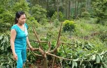 Hơn 400 cây bơ bị kẻ xấu chặt trụi, chủ vườn chết lặng khi toàn bộ tài sản tiêu tan