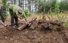 Phát hiện gần 400 lóng gỗ thông khoảng 20 năm tuổi bị chôn dưới lòng đất ở Lâm Đồng