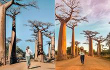 """Dính phải lời nguyền phải """"mọc ngược"""", rừng cây ở Madagascar nay lại trở thành điểm check-in xịn xò của giới blogger du lịch"""