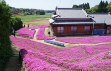 Người đàn ông Nhật Bản dành trọn tình yêu trồng đồi hoa trước nhà suốt 4 năm để tặng vợ mù lòa