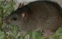 Báo động: Loài động vật có vú đầu tiên bị tuyệt chủng do biến đổi khí hậu