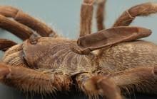 Phát hiện ra một giống nhện mới đã lông lá lại còn có sừng tại Nam Phi