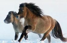 Nhân bản loài ngựa tiền sử đã tuyệt chủng, từ mẫu máu còn sót lại trong băng vĩnh cửu
