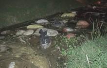 Hoang mang thấy hàng chục con lợn chết trương phình, hôi thối trôi trên kênh tưới tiêu