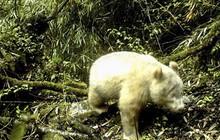 """Công bố hình ảnh đầu tiên về gấu trúc bạch tạng khổng lồ hiếm có trên thế giới với những đặc điểm """"khác thường"""""""