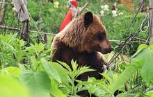 Dân số Nhật Bản sụt giảm trầm trọng, gấu tận dụng cơ hội táo tợn hoành hành khắp nơi