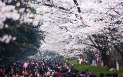 Xót xa vườn hoa anh đào bị phá, đại học Trung Quốc tự làm filter hoa rơi sống ảo để du khách đỡ rung cây