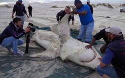 Tưởng đứng đầu chuỗi thức ăn nhưng cá mập trắng phải sợ hãi đến mức bỏ chạy trước loài vật này