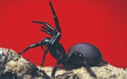 """Hết cháy """"đại thảm họa"""" đến lũ lụt, giờ nước Úc tiếp tục phải hứng chịu cơn mưa """"nhện độc"""" nguy hiểm nhất hành tinh"""