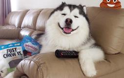 Gấu trúc phiên bản chó cute lúc nào cũng cười không ngậm được mồm