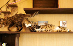 17 biểu cảm chứng tỏ mèo là bọn diễn sâu nhất quả đất
