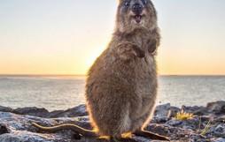 Chỉ ước mình được như loài chuột túi mini hạnh phúc và vui vẻ nhất thế gian