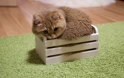 Chú mèo đi hia béo ục ịch khiến bạn muốn ẵm ngay về nuôi