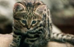 Chân dung loài mèo nguy hiểm bậc nhất thế giới nhưng lại có vẻ ngoài đáng yêu lừa tình