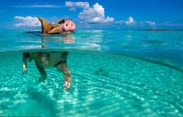 Những chú lợn biết bơi đáng yêu ở Bahamas chết vì say rượu bia