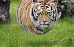 Bộ ảnh Photoshop các loài động vật trở nên tròn vo như bóng bay
