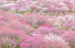 Nhật Bản vào mùa hoa mận nở trở nên đẹp đến nao lòng