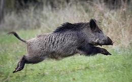 Bầy lợn rừng háu ăn phanh phui số ma tuý được giấu kín trong rừng trị giá hơn nửa tỷ đồng