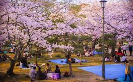 Đến Hàn Quốc vào tháng 3, tháng 4 để được đắm chìm trong thế giới lãng mạn của hoa anh đào