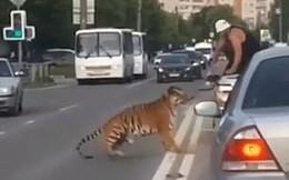 Nước Nga hài hước: Chỉ ở đây mới có cảnh hổ làm thú cưng, chạy nhảy tự do ở ngoài đường như thế này