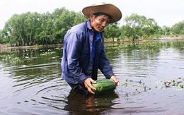 Trắng tay sau cơn bão số 4, hàng trăm nông dân ở Quảng Trị đổ dưa hấu cho gà vịt ăn