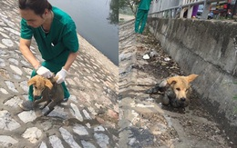Hà Nội: Chú chó mắc bệnh carre khó chữa bị chủ thẳng tay ném xuống sông Tô Lịch