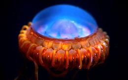 """Tưởng sâu thẳm đại dương chỉ có màn đêm bao phủ, ai dè cũng ẩn chứa những sinh vật """"lập loè"""" đẹp lộng lẫy đến vậy"""