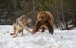 Chùm ảnh: Cuộc huyết chiến giành thức ăn giữa gấu Bắc Mỹ và bầy sói xám