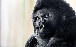 Nam thần khỉ đột chinh phục lòng người hâm mộ nhờ vẻ đẹp trai của mình