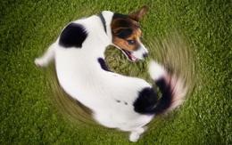 Giãi mã tâm trạng của cún cưng qua cách chúng vẫy đuôi