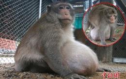 Chú khỉ béo nú béo nần vì ăn tranh hết phần của đồng bọn bị ép vào chế độ giảm cân nghiêm ngặt