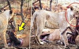 Sư tử cái phát hiện con mồi mình vừa giết đang mang bầu, điều mà nó làm sau đó khiến ai cũng kinh ngạc